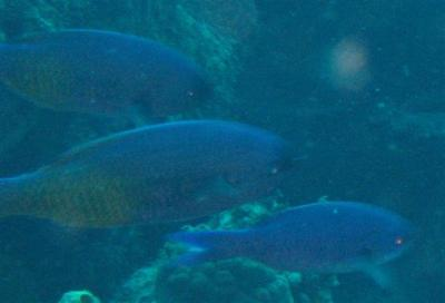 creole-wrasse-close-small.jpg
