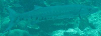 barracuda-close-2-small.jpg